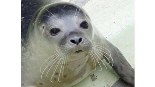 La foca monje o ´vell marí´