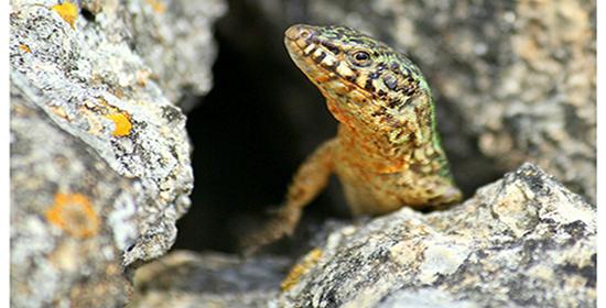Un laboratorio de lagartijas en cada isla