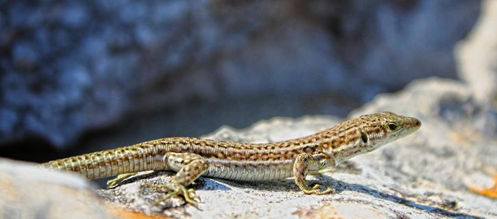 Sargantanes i illes: el valor evolutivo de las lagartijas