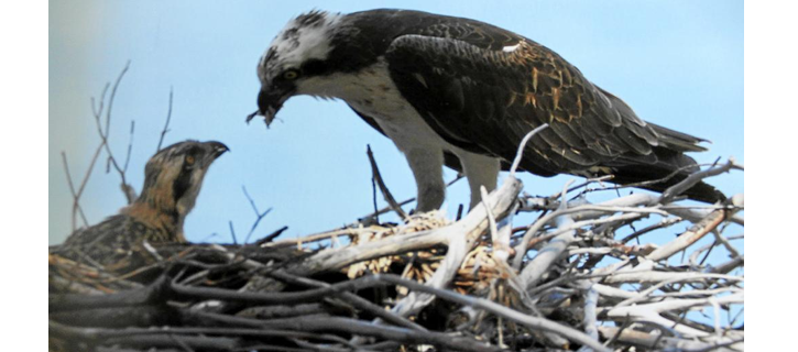 El águila pescadora vuelve a nidificar en la isla de Eivissa