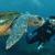 Las tortugas vuelven a criar en las pitiusas